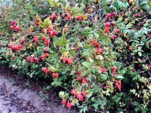 Pea Fruit Rose